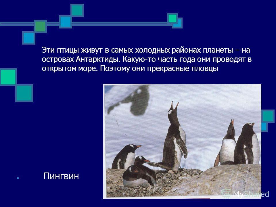 Эти птицы живут в самых холодных районах планеты – на островах Антарктиды. Какую-то часть года они проводят в открытом море. Поэтому они прекрасные пловцы Пингвин