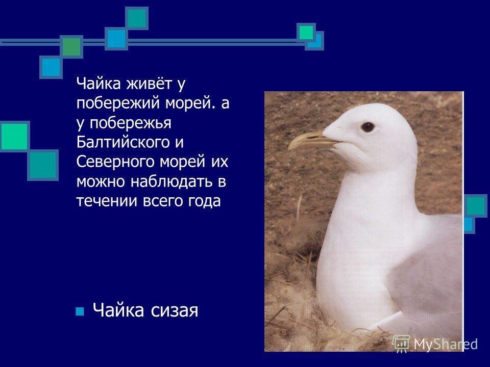 Чайка живёт у побережий морей. а у побережья Балтийского и Северного морей их можно наблюдать в течении всего года Чайка сизая