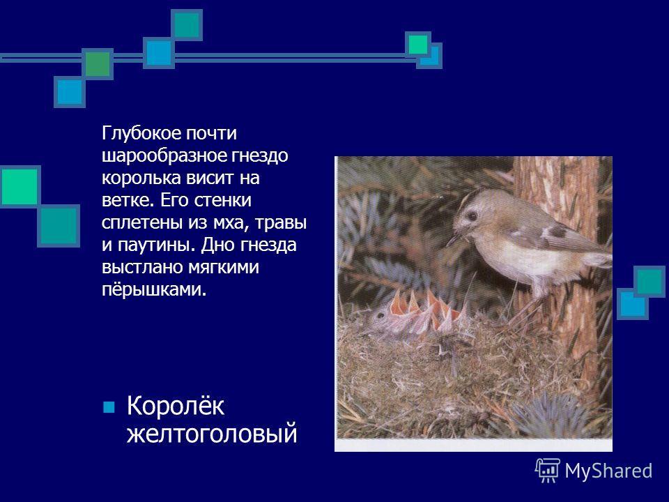 Глубокое почти шарообразное гнездо королька висит на ветке. Его стенки сплетены из мха, травы и паутины. Дно гнезда выстлано мягкими пёрышками. Королёк желтоголовый