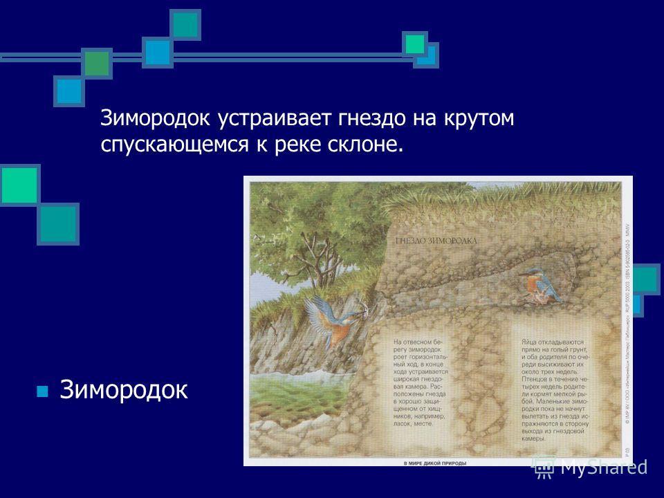 Зимородок устраивает гнездо на крутом спускающемся к реке склоне. Зимородок