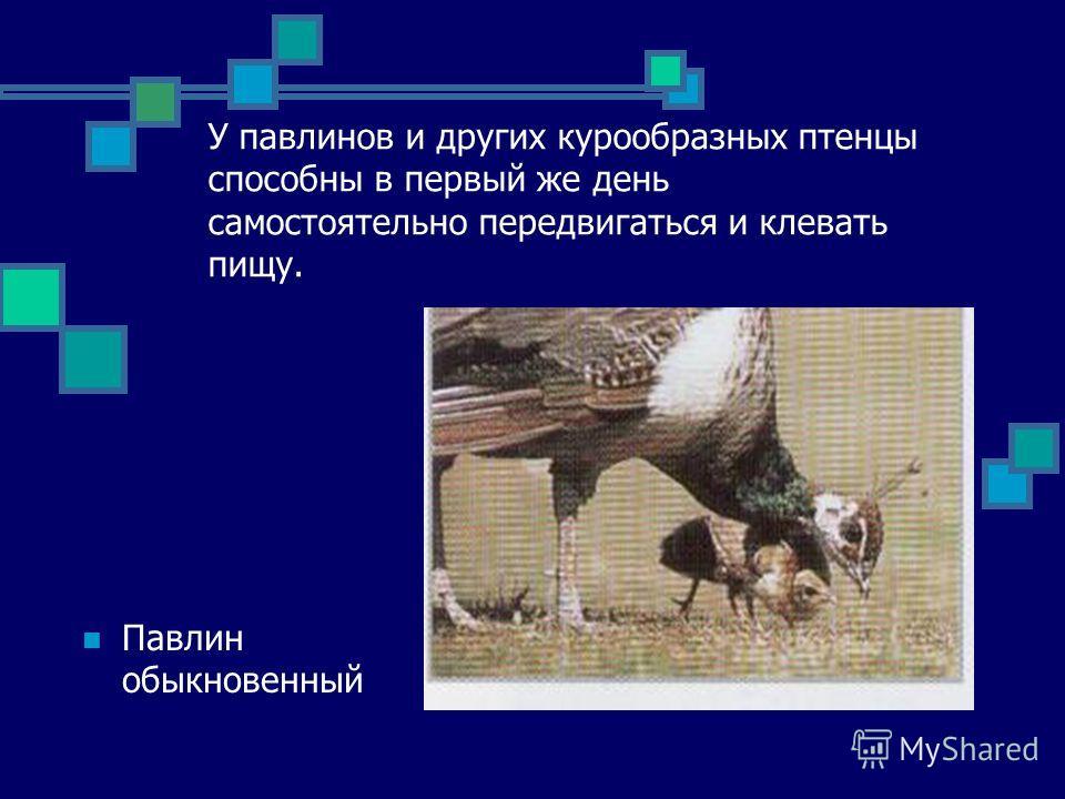 У павлинов и других курообразных птенцы способны в первый же день самостоятельно передвигаться и клевать пищу. Павлин обыкновенный