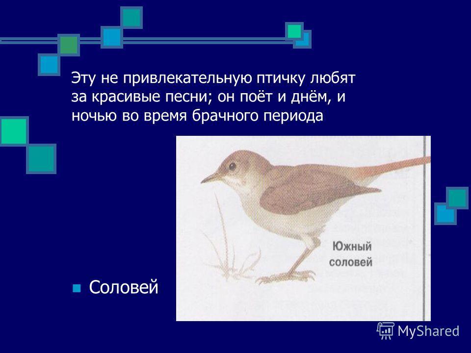 Эту не привлекательную птичку любят за красивые песни; он поёт и днём, и ночью во время брачного периода Соловей