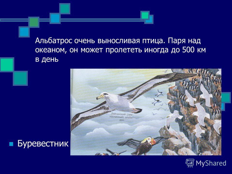 Альбатрос очень выносливая птица. Паря над океаном, он может пролететь иногда до 500 км в день Буревестник