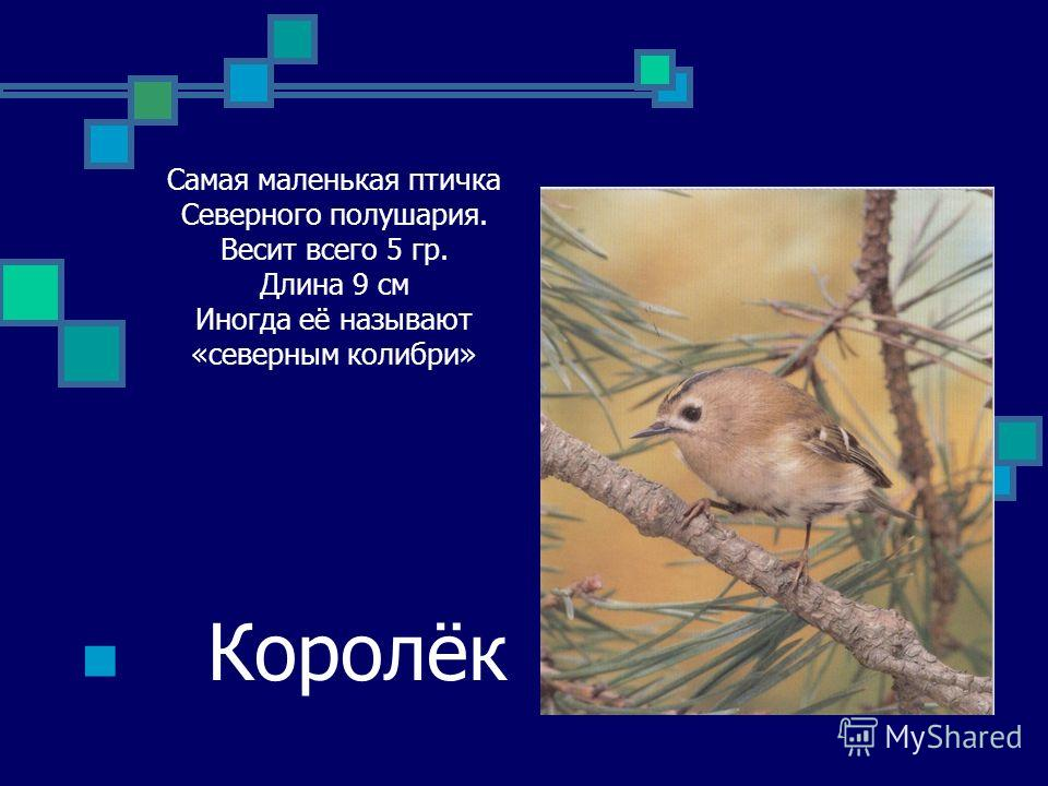 Самая маленькая птичка Северного полушария. Весит всего 5 гр. Длина 9 см Иногда её называют «северным колибри» Королёк