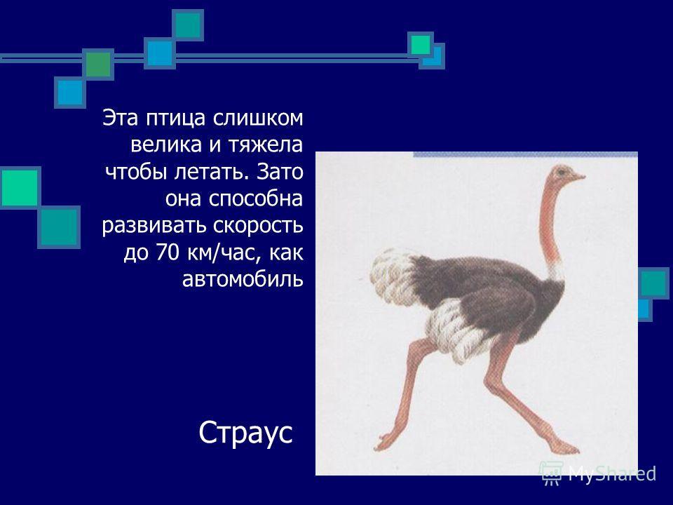 Эта птица слишком велика и тяжела чтобы летать. Зато она способна развивать скорость до 70 км/час, как автомобиль Страус