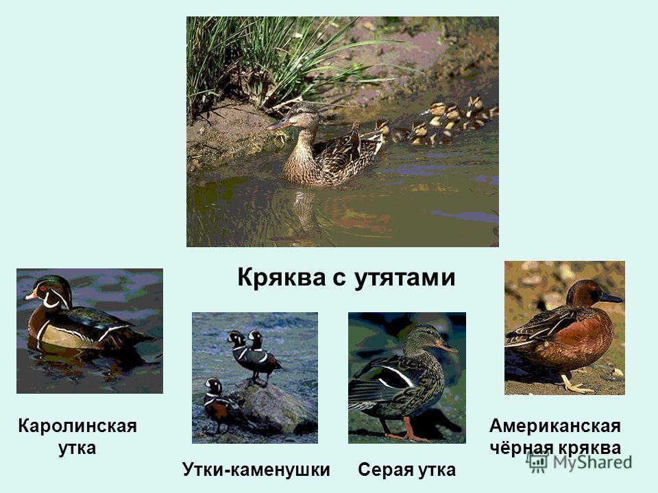 Кряква с утятами Серая утка Американская чёрная кряква Каролинская утка Утки-каменушки