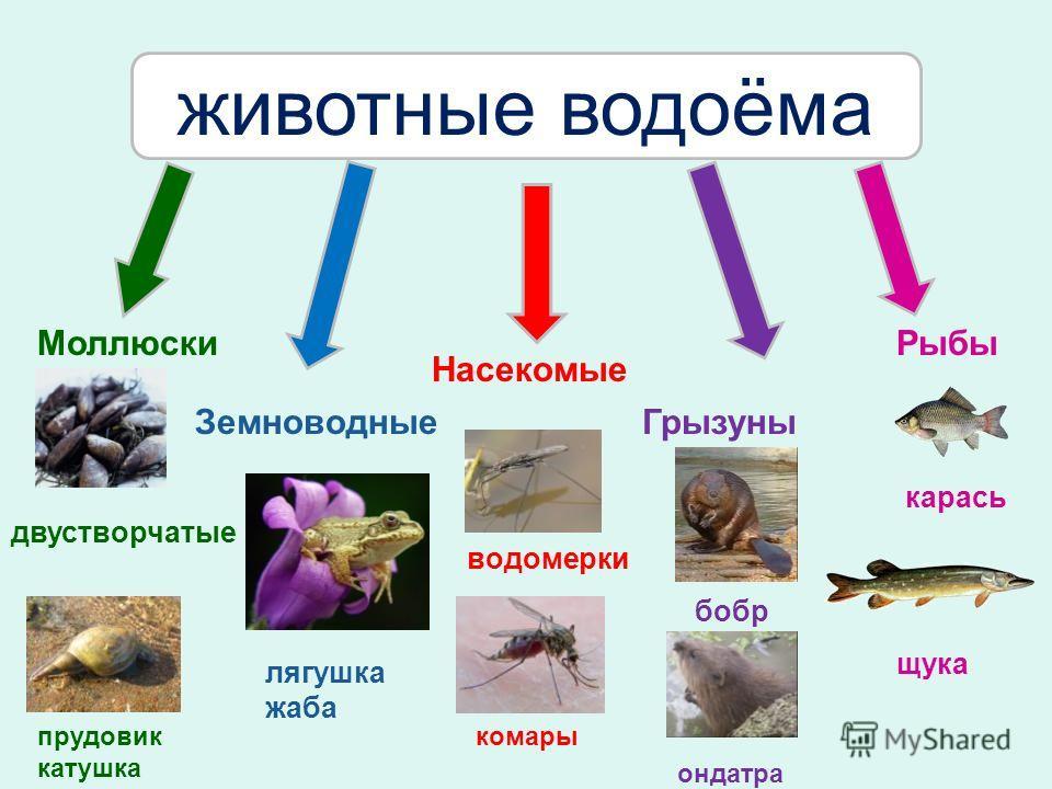 Моллюски Земноводные Насекомые Грызуны Рыбы двустворчатые лягушка жаба водомерки бобр карась животные водоёма прудовик катушка комары ондатра щука