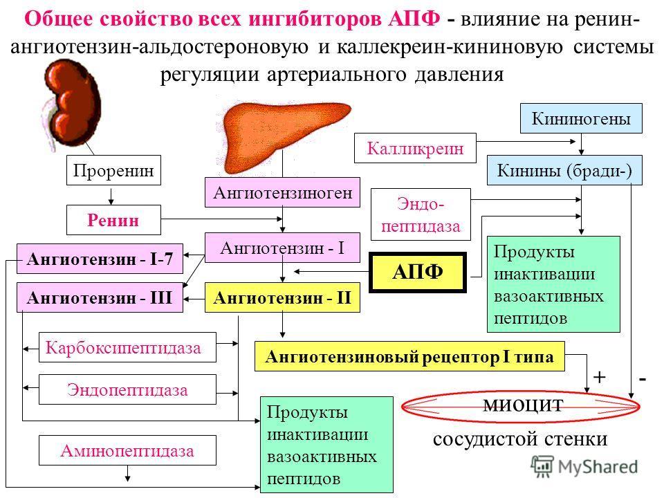 Проренин Ренин Ангиотензиноген Ангиотензин - I Ангиотензин - II Ангиотензиновый рецептор I типа Ангиотензин - III Ангиотензин - I-7 Калликреин Кининогены Кинины (бради-) АПФ Эндо- пептидаза миоцит Продукты инактивации вазоактивных пептидов + - Карбок