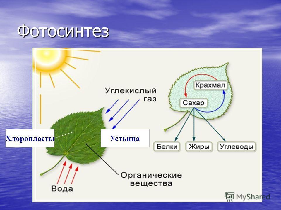 Фотосинтез Устьица Хлоропласты