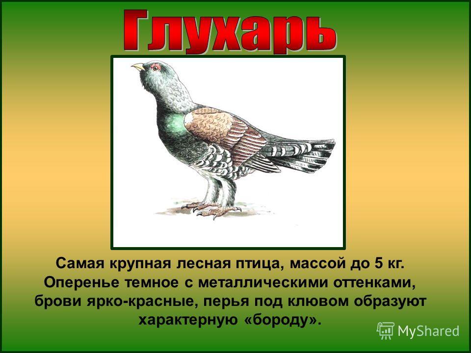 Самая крупная лесная птица, массой до 5 кг. Оперенье темное с металлическими оттенками, брови ярко-красные, перья под клювом образуют характерную «бороду».