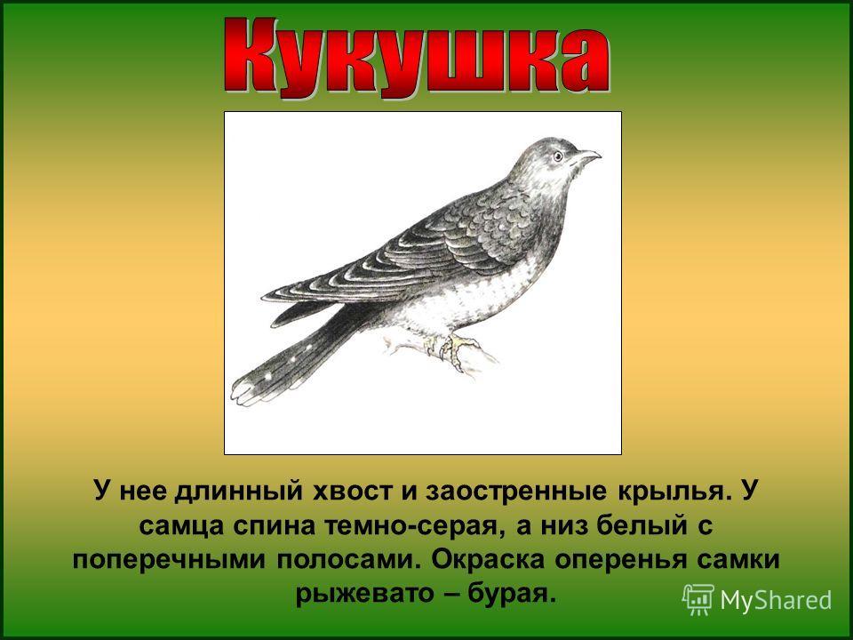 У нее длинный хвост и заостренные крылья. У самца спина темно-серая, а низ белый с поперечными полосами. Окраска оперенья самки рыжевато – бурая.