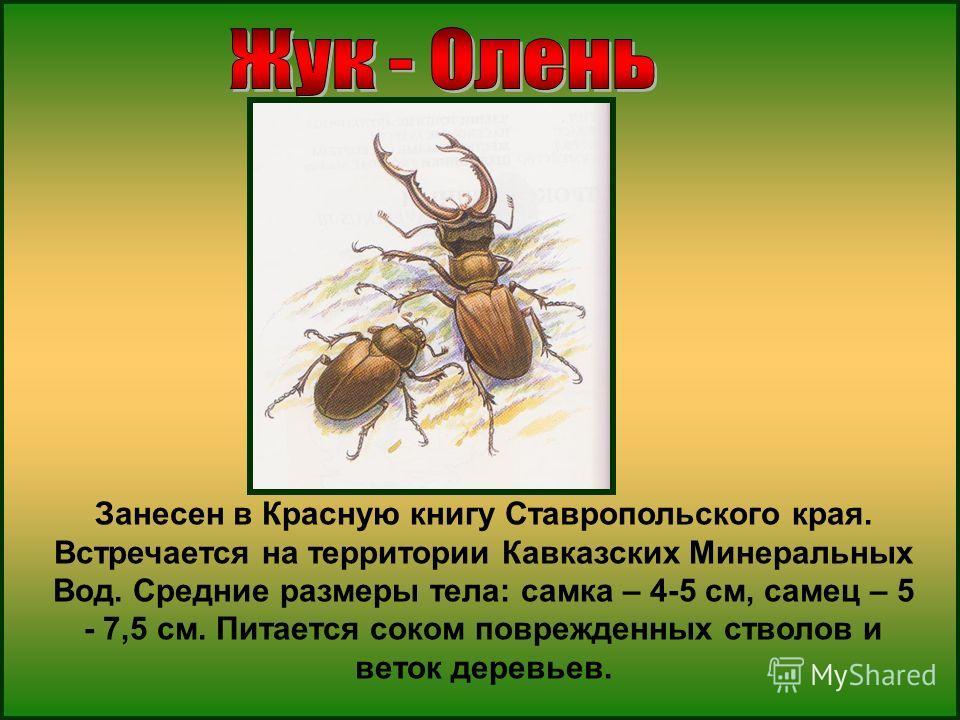Занесен в Красную книгу Ставропольского края. Встречается на территории Кавказских Минеральных Вод. Средние размеры тела: самка – 4-5 см, самец – 5 - 7,5 см. Питается соком поврежденных стволов и веток деревьев.