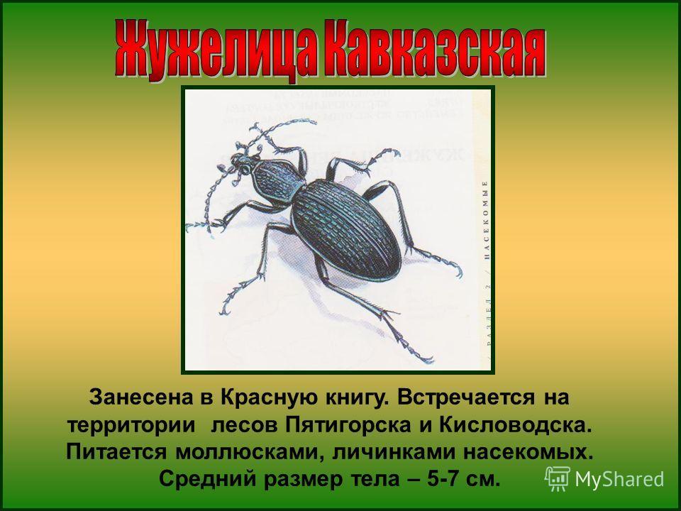 Занесена в Красную книгу. Встречается на территории лесов Пятигорска и Кисловодска. Питается моллюсками, личинками насекомых. Средний размер тела – 5-7 см.