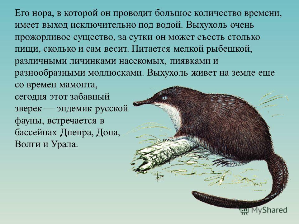 Его нора, в которой он проводит большое количество времени, имеет выход исключительно под водой. Выхухоль очень прожорливое существо, за сутки он может съесть столько пищи, сколько и сам весит. Питается мелкой рыбешкой, различными личинками насекомых