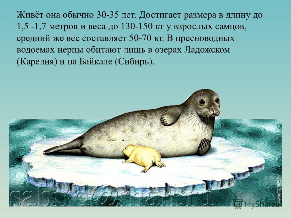 Живёт она обычно 30-35 лет. Достигает размера в длину до 1,5 -1,7 метров и веса до 130-150 кг у взрослых самцов, средний же вес составляет 50-70 кг. В пресноводных водоемах нерпы обитают лишь в озерах Ладожском (Карелия) и на Байкале (Сибирь).