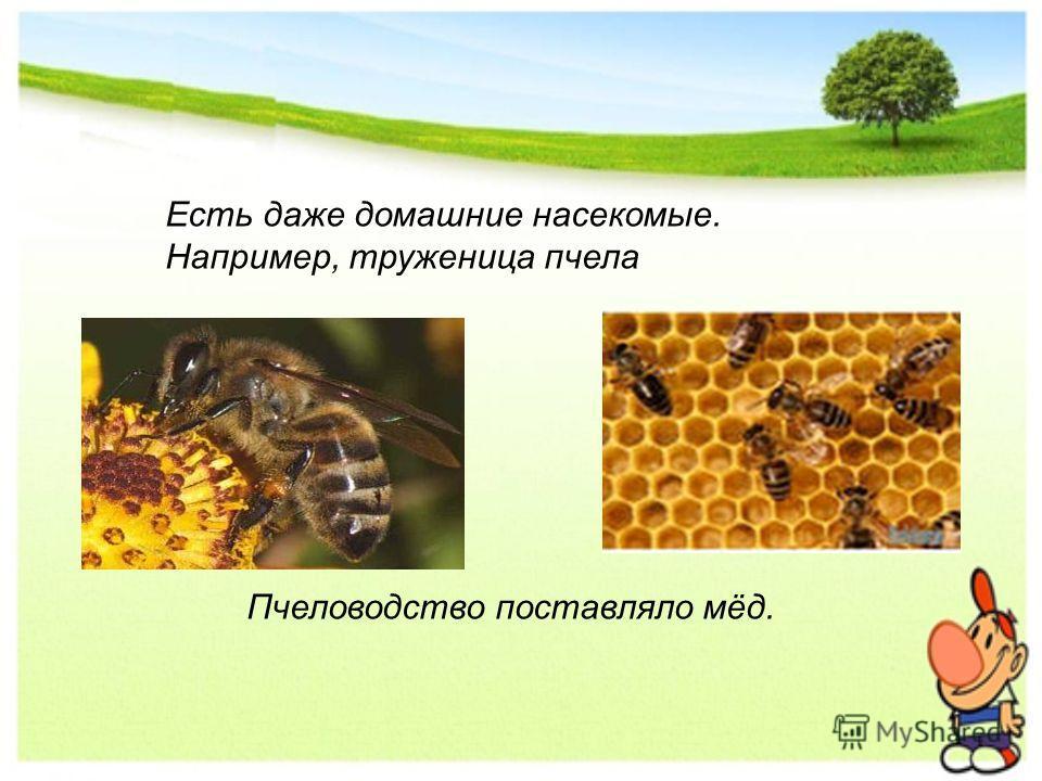 Пчеловодство поставляло мёд. Есть даже домашние насекомые. Например, труженица пчела