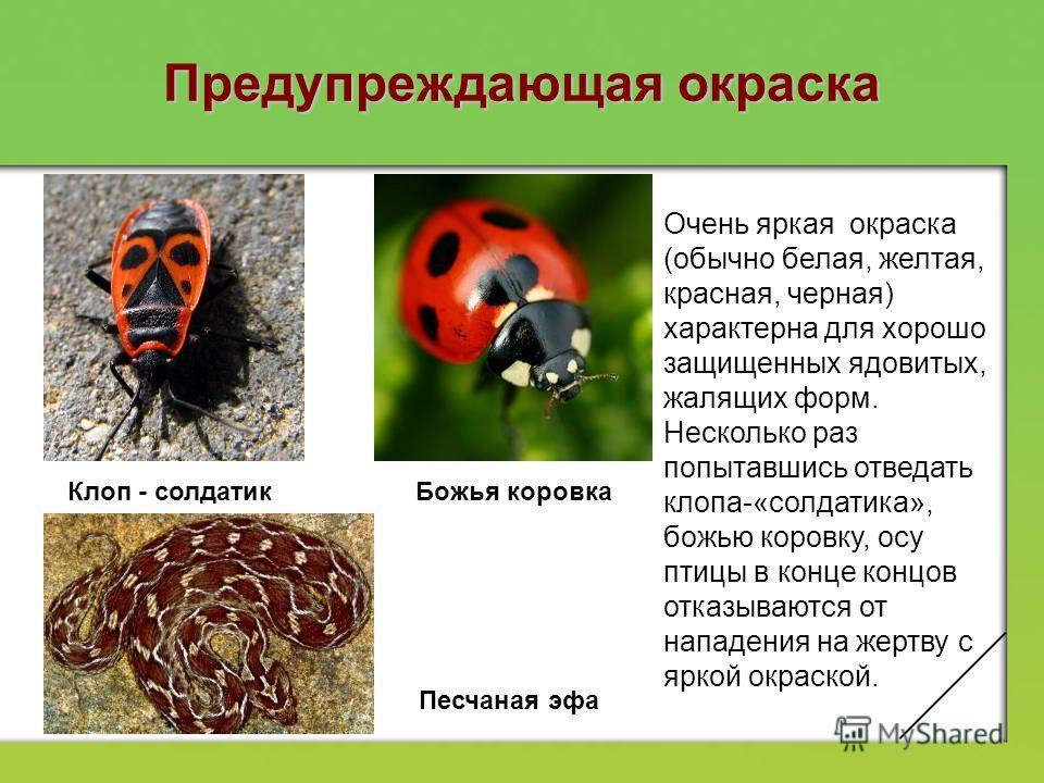 Покровительственная окраска (маскировка) Удивительное сходство с веточками наблюдается у палочников. Гусеницы некоторых бабочек напоминают сучки, а тело некоторых бабочек – лист. Эффект покровительственной окраски повышается при ее сочетании с соотве
