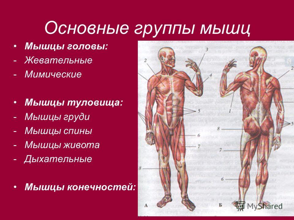 Основные группы мышц Мышцы головы: -Жевательные -Мимические Мышцы туловища: -Мышцы груди -Мышцы спины -Мышцы живота -Дыхательные Мышцы конечностей: