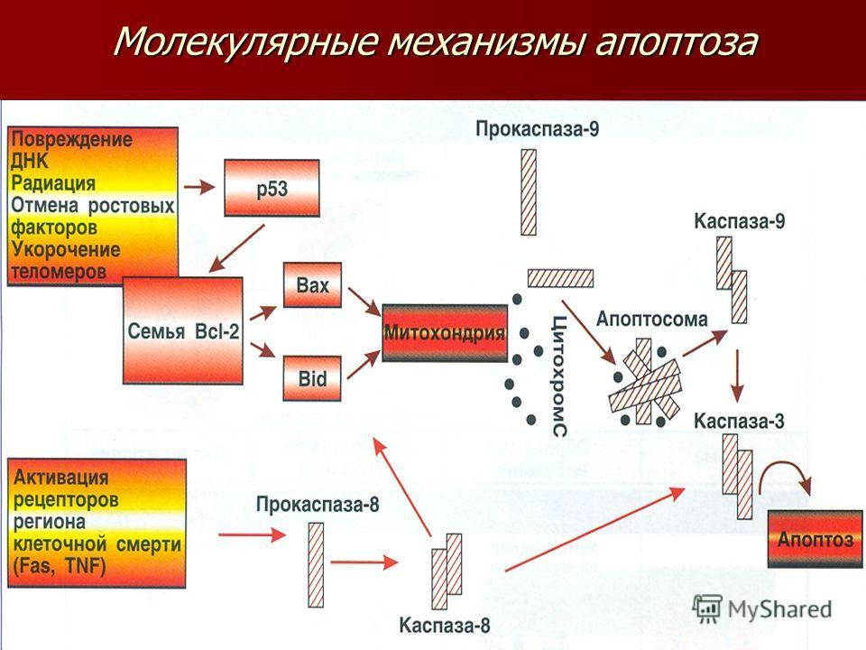 Молекулярные механизмы апоптоза