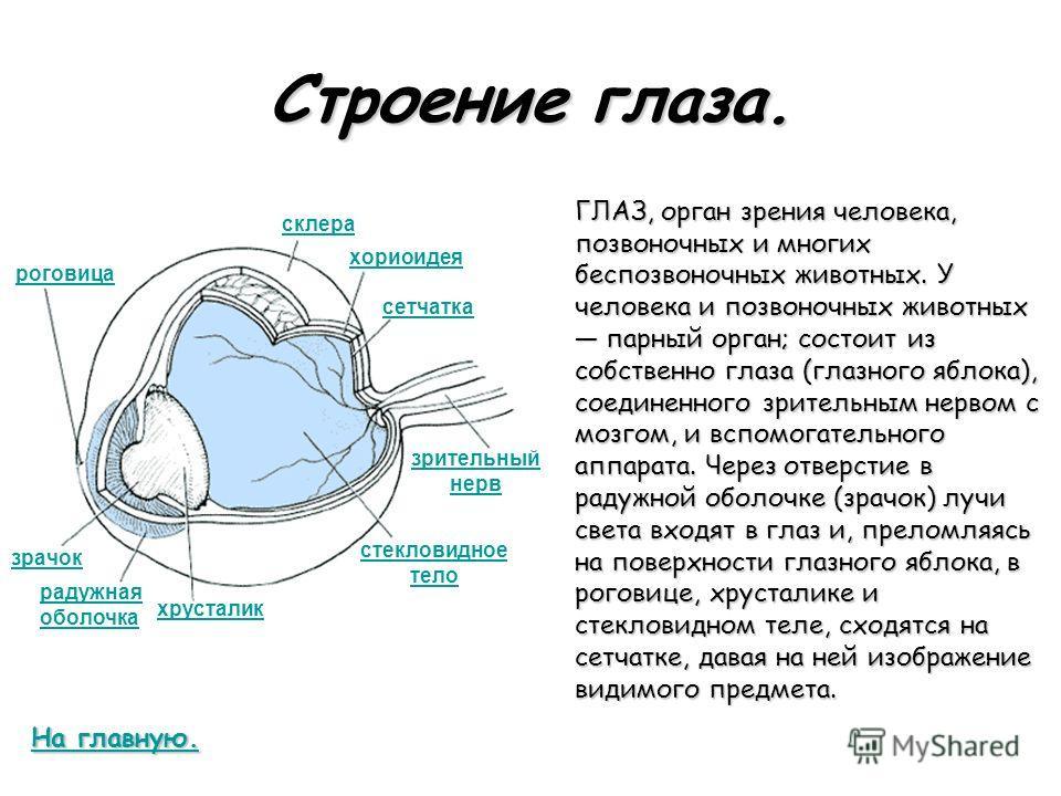 Строение глаза. ГЛАЗ, орган зрения человека, позвоночных и многих беспозвоночных животных. У человека и позвоночных животных парный орган; состоит из собственно глаза (глазного яблока), соединенного зрительным нервом с мозгом, и вспомогательного аппа