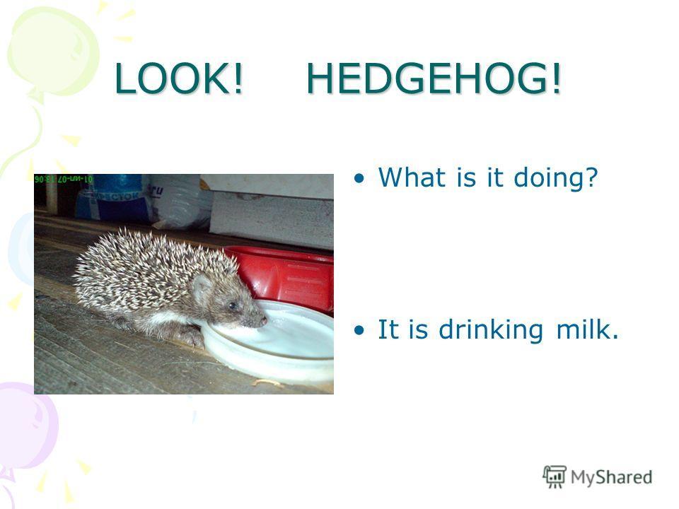 LOOK! HEDGEHOG! What is it doing? It is drinking milk.