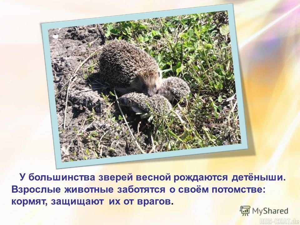 У большинства зверей весной рождаются детёныши. Взрослые животные заботятся о своём потомстве: кормят, защищают их от врагов.