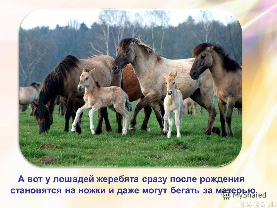 А вот у лошадей жеребята сразу после рождения становятся на ножки и даже могут бегать за матерью.