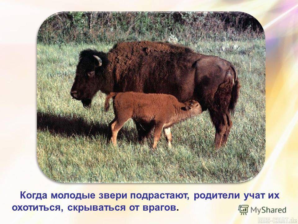 Когда молодые звери подрастают, родители учат их охотиться, скрываться от врагов.