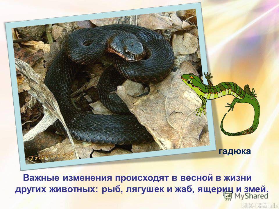 Важные изменения происходят в весной в жизни других животных: рыб, лягушек и жаб, ящериц и змей. гадюка