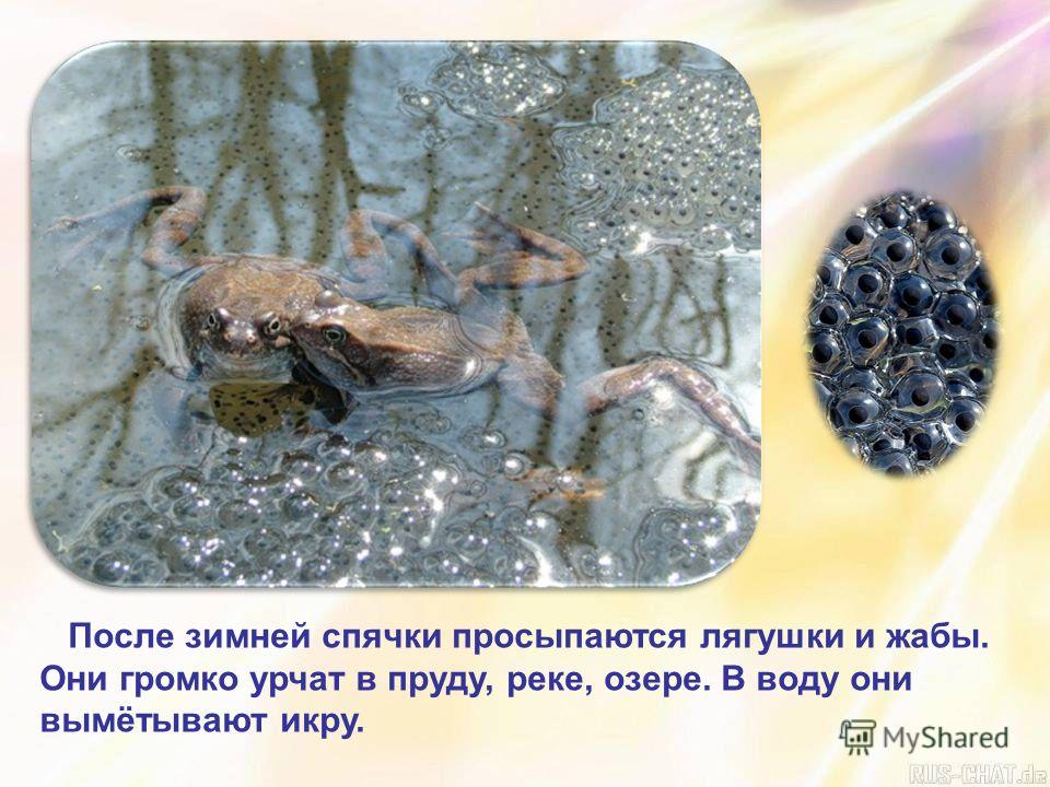 После зимней спячки просыпаются лягушки и жабы. Они громко урчат в пруду, реке, озере. В воду они вымётывают икру.