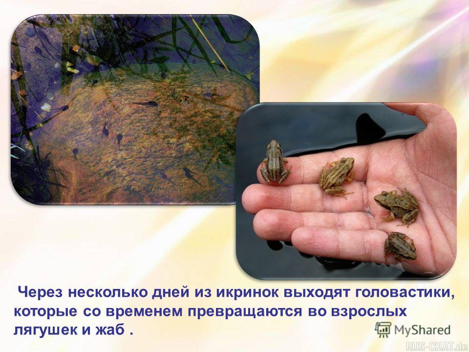 Через несколько дней из икринок выходят головастики, которые со временем превращаются во взрослых лягушек и жаб.