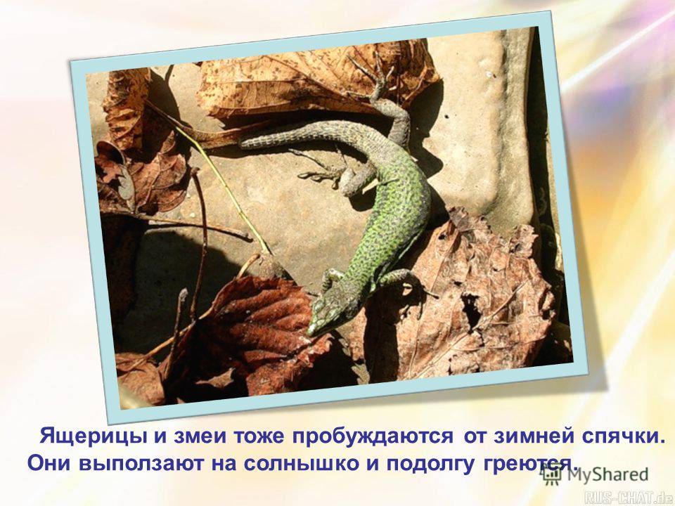 Ящерицы и змеи тоже пробуждаются от зимней спячки. Они выползают на солнышко и подолгу греются.