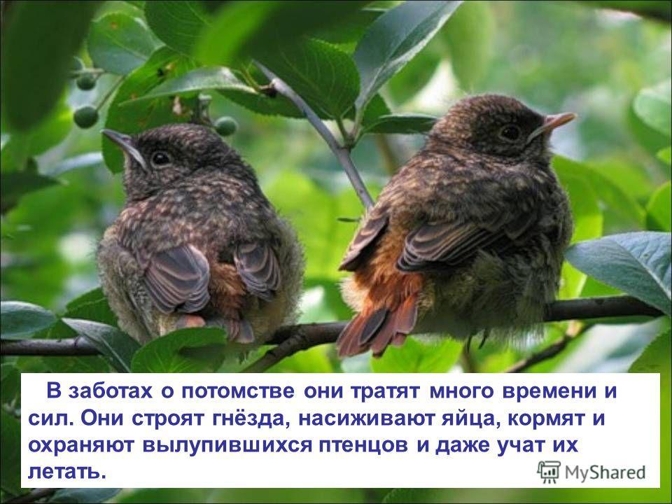 В заботах о потомстве они тратят много времени и сил. Они строят гнёзда, насиживают яйца, кормят и охраняют вылупившихся птенцов и даже учат их летать.