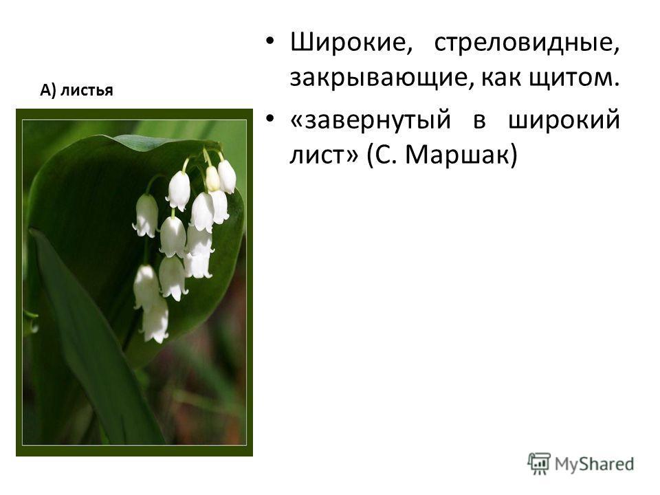 А) листья Широкие, стреловидные, закрывающие, как щитом. «завернутый в широкий лист» (С. Маршак)