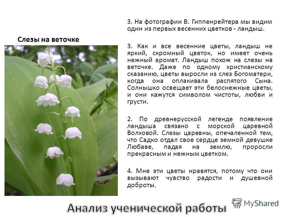 Слезы на веточке 3. На фотографии В. Гиппенрейтера мы видим один из первых весенних цветков - ландыш. 3. Как и все весенние цветы, ландыш не яркий, скромный цветок, но имеет очень нежный аромат. Ландыш похож на слезы на веточке. Даже по одному христи