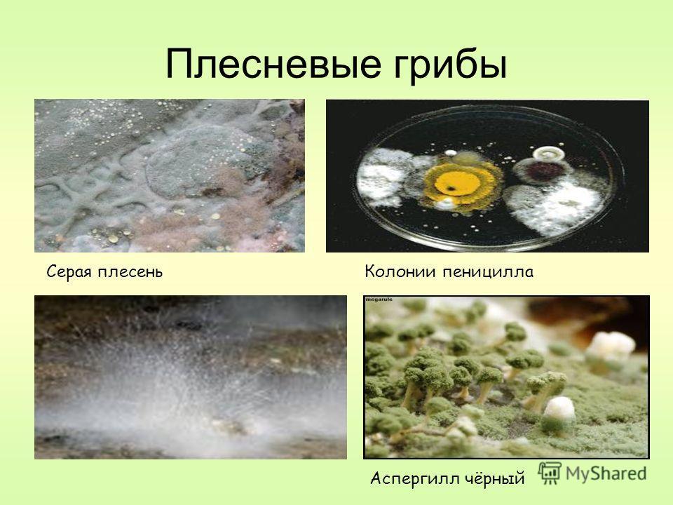 Плесневые грибы Аспергилл чёрный Колонии пенициллаСерая плесень