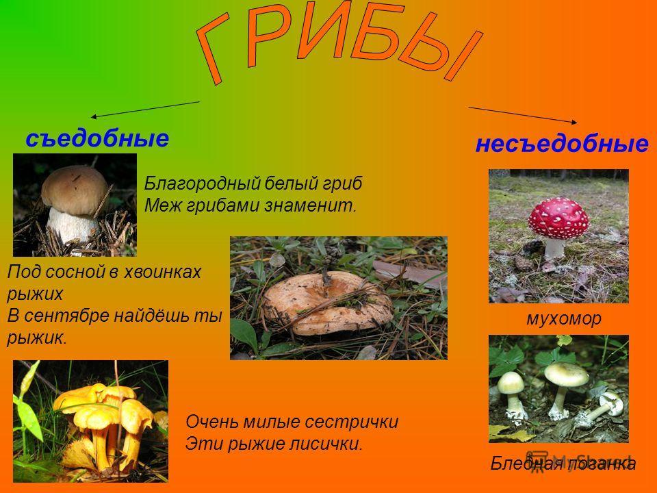 съедобные несъедобные Благородный белый гриб Меж грибами знаменит. Под сосной в хвоинках рыжих В сентябре найдёшь ты рыжик. Очень милые сестрички Эти рыжие лисички. мухомор Бледная поганка