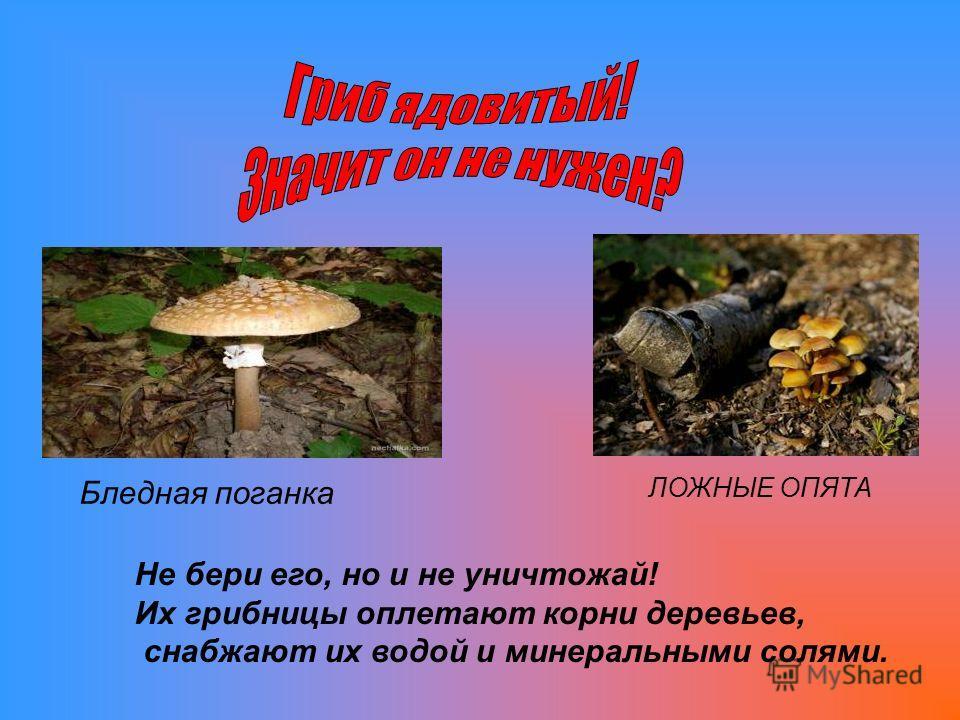 Не бери его, но и не уничтожай! Их грибницы оплетают корни деревьев, снабжают их водой и минеральными солями. Бледная поганка ЛОЖНЫЕ ОПЯТА