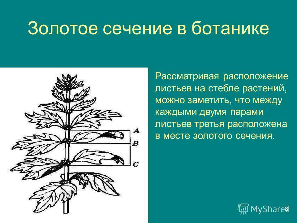 8 Золотое сечение в ботанике Рассматривая расположение листьев на стебле растений, можно заметить, что между каждыми двумя парами листьев третья расположена в месте золотого сечения.