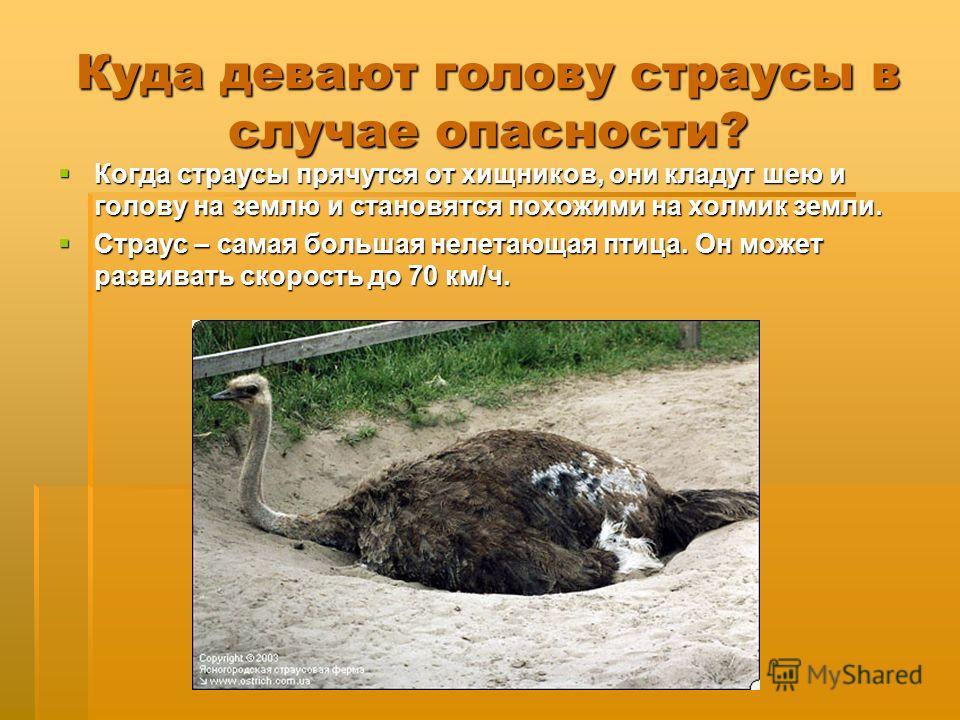 Куда девают голову страусы в случае опасности? Когда страусы прячутся от хищников, они кладут шею и голову на землю и становятся похожими на холмик земли. Когда страусы прячутся от хищников, они кладут шею и голову на землю и становятся похожими на х