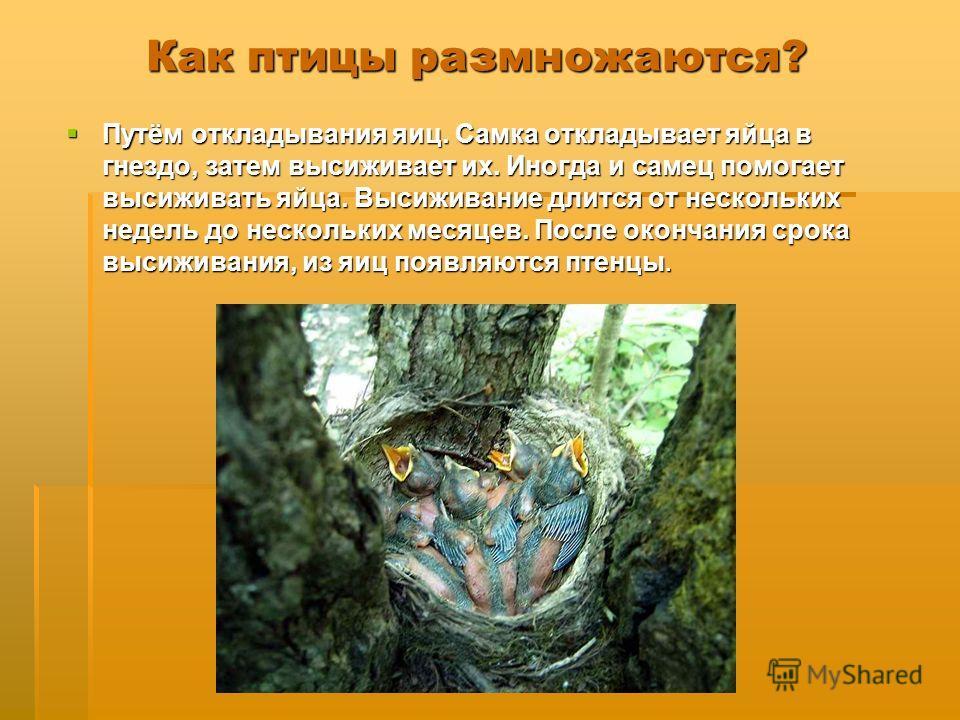 Как птицы размножаются? Путём откладывания яиц. Самка откладывает яйца в гнездо, затем высиживает их. Иногда и самец помогает высиживать яйца. Высиживание длится от нескольких недель до нескольких месяцев. После окончания срока высиживания, из яиц по