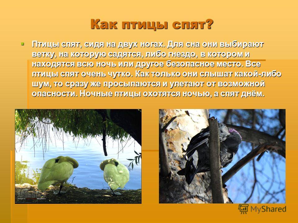Как птицы спят? Птицы спят, сидя на двух ногах. Для сна они выбирают ветку, на которую садятся, либо гнездо, в котором и находятся всю ночь или другое безопасное место. Все птицы спят очень чутко. Как только они слышат какой-либо шум, то сразу же про