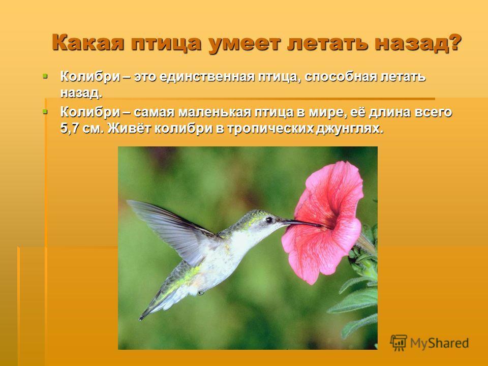 Какая птица умеет летать назад? Колибри – это единственная птица, способная летать назад. Колибри – это единственная птица, способная летать назад. Колибри – самая маленькая птица в мире, её длина всего 5,7 см. Живёт колибри в тропических джунглях. К