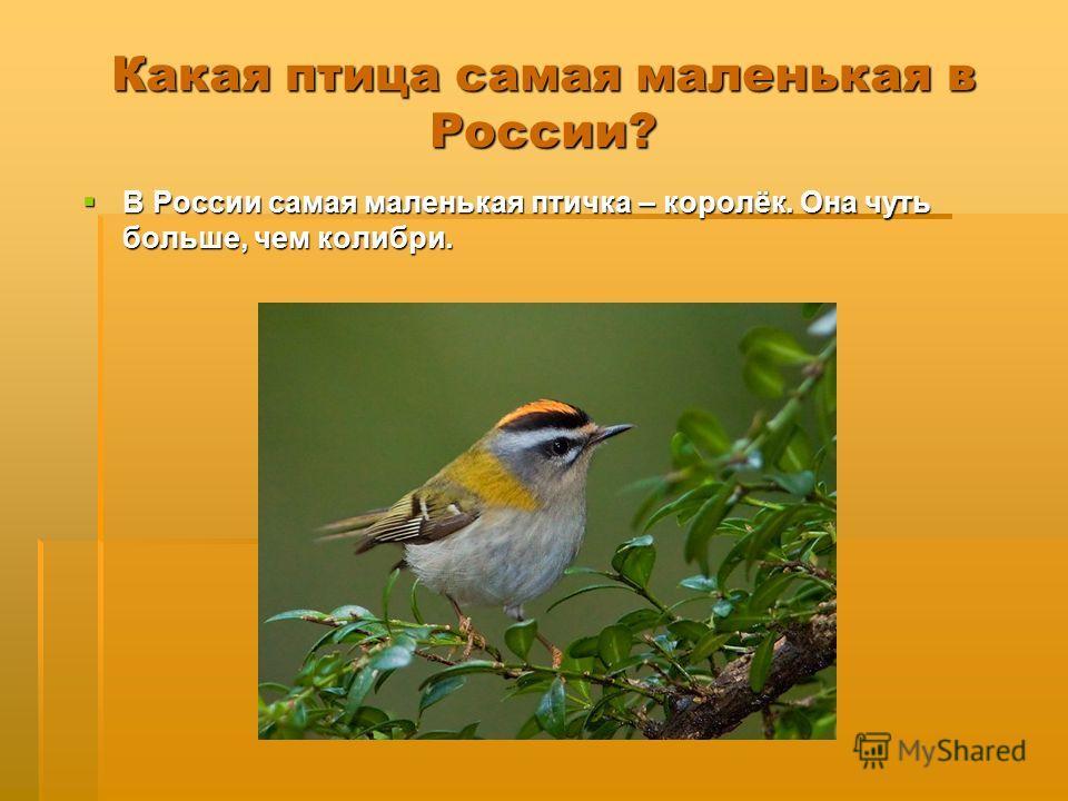 Какая птица самая маленькая в России? В России самая маленькая птичка – королёк. Она чуть больше, чем колибри. В России самая маленькая птичка – королёк. Она чуть больше, чем колибри.
