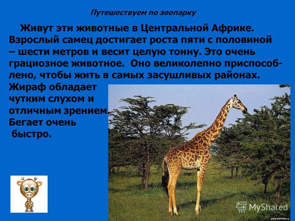 Живут эти животные в Центральной Африке. Взрослый самец достигает роста пяти с половиной – шести метров и весит целую тонну. Это очень грациозное животное. Оно великолепно приспособ- лено, чтобы жить в самых засушливых районах. Жираф обладает чутким