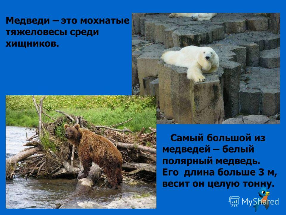 Медведи – это мохнатые тяжеловесы среди хищников. Самый большой из медведей – белый полярный медведь. Его длина больше 3 м, весит он целую тонну.
