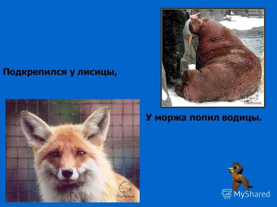 Подкрепился у лисицы, У моржа попил водицы.