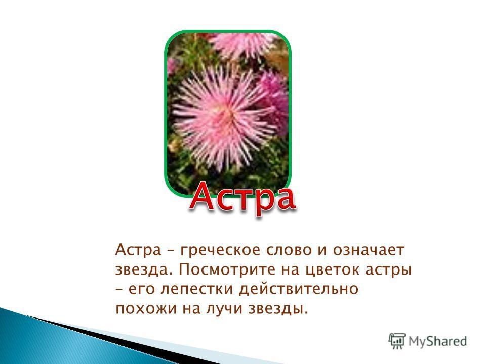 Астра – греческое слово и означает звезда. Посмотрите на цветок астры – его лепестки действительно похожи на лучи звезды.
