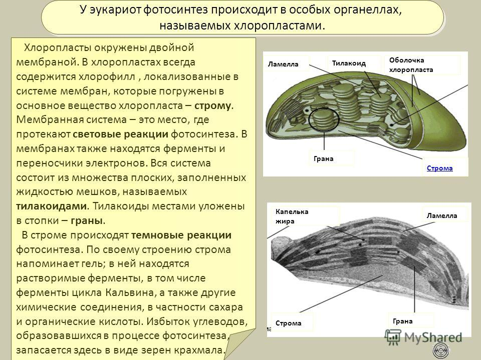 Строма Грана Тилакоид Ламелла Оболочка хлоропласта Капелька жира У эукариот фотосинтез происходит в особых органеллах, называемых хлоропластами. У эукариот фотосинтез происходит в особых органеллах, называемых хлоропластами. Хлоропласты окружены двой