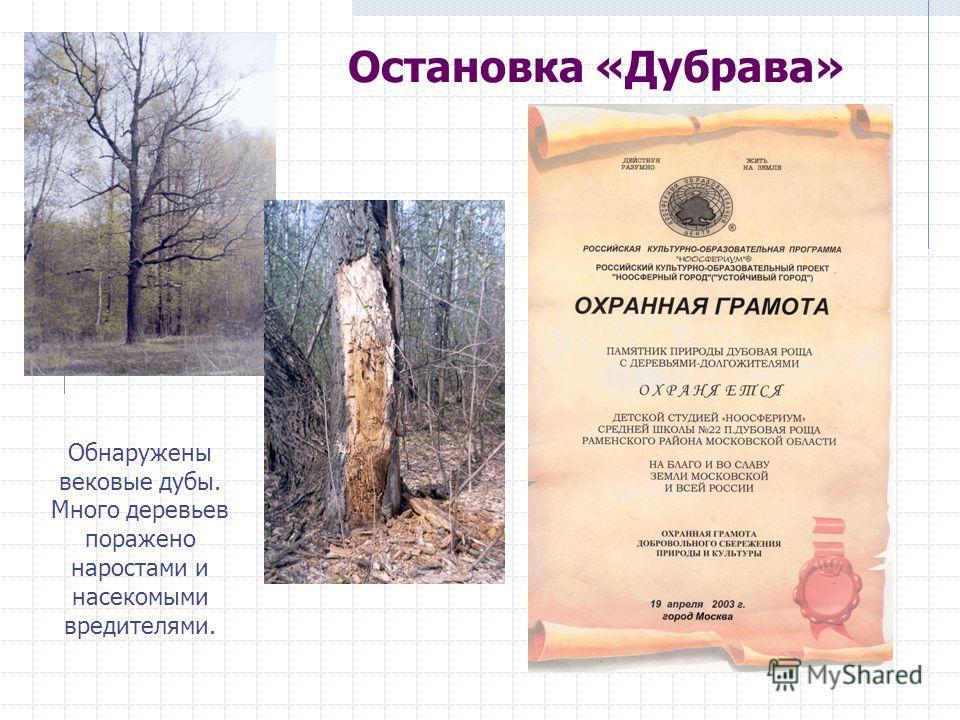 Остановка «Дубрава» Обнаружены вековые дубы. Много деревьев поражено наростами и насекомыми вредителями.